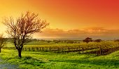 pic of shiraz  - Fresh Vineyard Sunrise - JPG