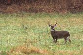 picture of  bucks  - Large white - JPG