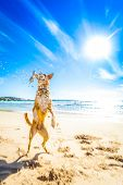 stock photo of dog-walker  - terrier dog having funrunning jumping and playing at the beach on summer holidays