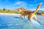 pic of dog-walker  - terrier dog having funrunning jumping and playing at the beach on summer holidays