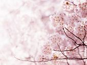 foto of cherry  - Cherry blossom in full bloom - JPG
