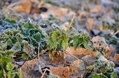 foto of nettle  - nettles spring  with leaf covered with morning frost - JPG