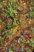 picture of lichenes  - Mosses and lichens on swamp in Finland - JPG