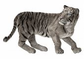 pic of white-tiger  - 3D digital render of a white tiger turning back and looking around isolated on white background - JPG