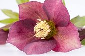 picture of helleborus  - spring flower of red helleborus with buds on white background - JPG