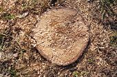 picture of chainsaw  - Closeup of stump cuts with chainsaw in sunny day - JPG