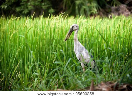 Heron Bird In Paddy Farm