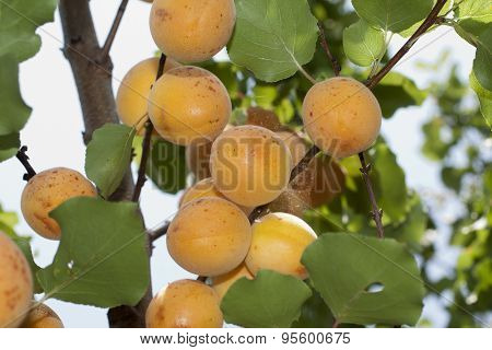 Typical Ligurian Apricots