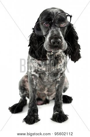 Russian spaniel in glasses isolated on white