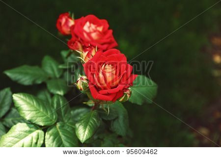 Beautiful red home roses in garden