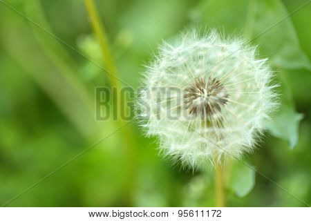 Dandelion flower outdoors