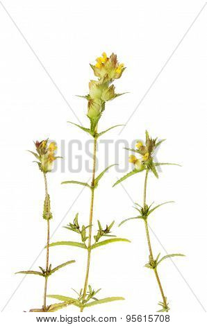 Yellow Rattle Plants