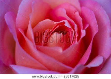 Macro Of A Pink Rose