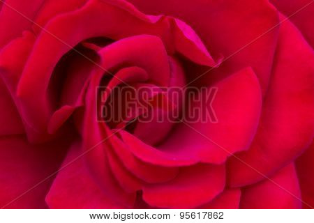 Macro Of A Red Rose