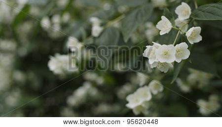 jasmine flowers in bloom outdoor photo