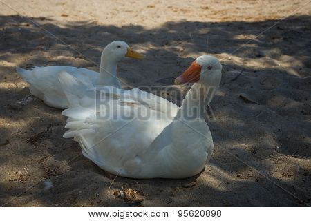 White Goose And Duck On A Sandy Beach