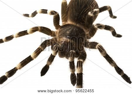 giant tarantula Acanthoscurria geniculata isolated