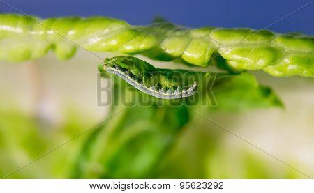 Cabbage Looper, cabbage worm, moth family Noctuidae Caterpillar
