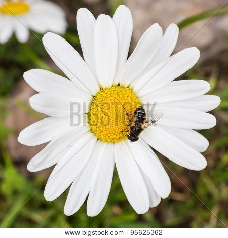 A Beautiful White Oxeye With A Small Bee Daisy Standing Against A Green Backdrop