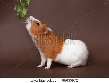 Guinea-pig Is Smelling Verdure