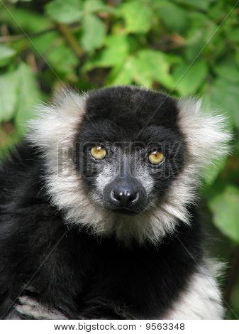 Portrait of the ruffed lemur