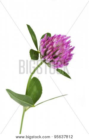 Red clover on white background