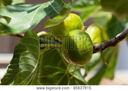 Green figs on the tree in a sunny day