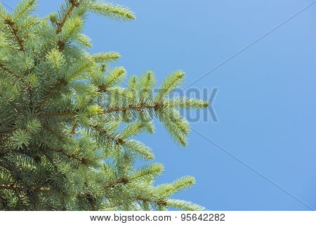 Closeup Of A Pine Tree Branch