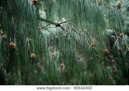 Closeup Of Pine Tree Leaves
