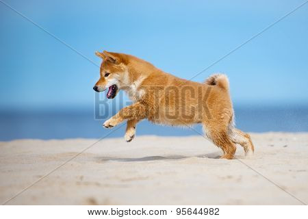 happy shiba inu puppy on a beach
