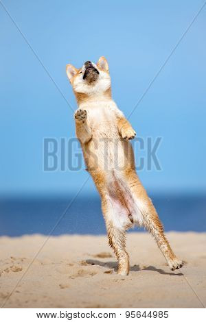 happy shiba inu puppy on a beach