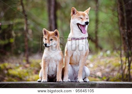 adorable shiba inu dog and her puppy