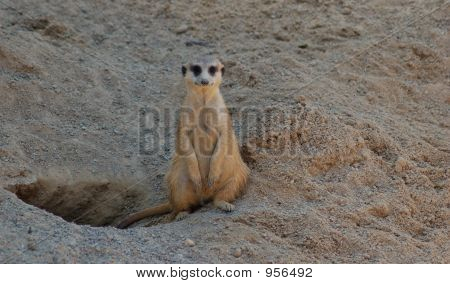 A Lonely Meerkat