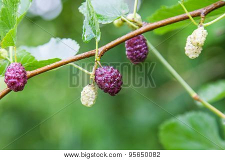 Berry Fruit In Nature