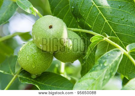 Green Walnuts Growing On Branch