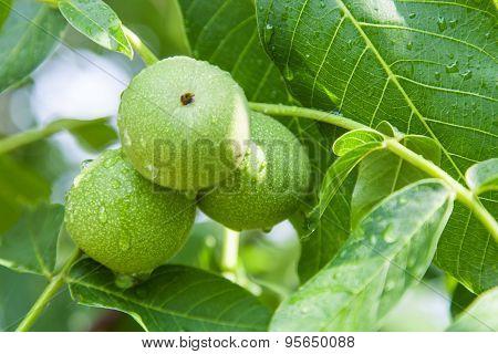 Green Walnuts Growing On Branch