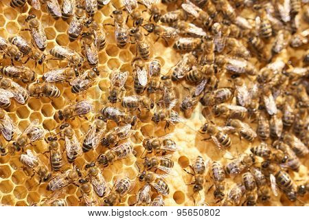Honey Comb With Many Bees
