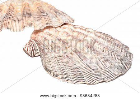 Seashell ,Lyropecten Nodosus