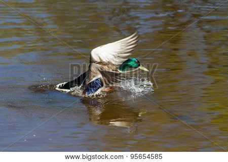 Duck Sits On The Water
