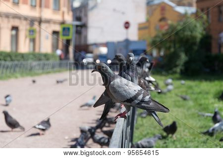 Pigeons On The Street