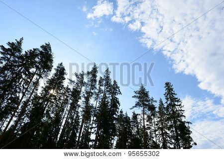 Pine Trees At Sunrise Summer Morning Stretch In The Boundless Blue Of The Sky