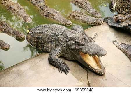 Group Of Crocodiles Crawling From Water To The Shore In Search Of Prey