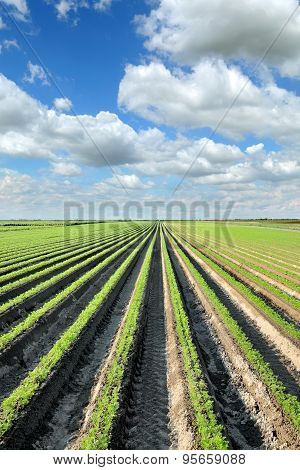 Agriculture, Carrot Field In Summer