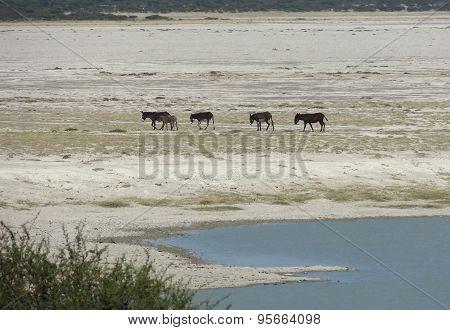 Donkeys At Makgadikgadi Pan