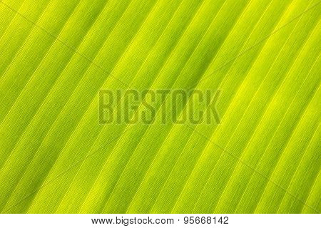 Fresh banana leaf with a pattern. Beautiful view from the top