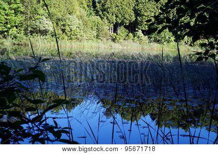 Rushes growing in Spring Lake