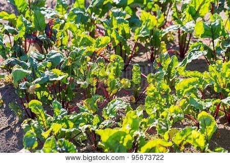Young Beetroots Growing In Ecological Garden