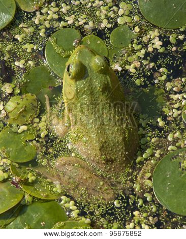 Camouflaged Green Frog