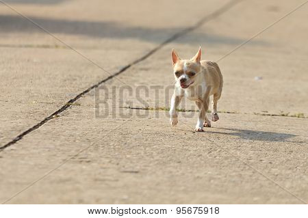 Chihuahua Dog Running Or Walking On Road