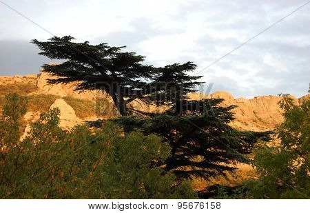 Cedar of Lebanon (Cedrus libani) and mountains in sunset.